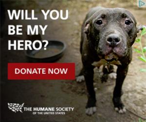 pitbull looking for a hero - humane society