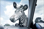 car window sticker marketing safari zoo zebra
