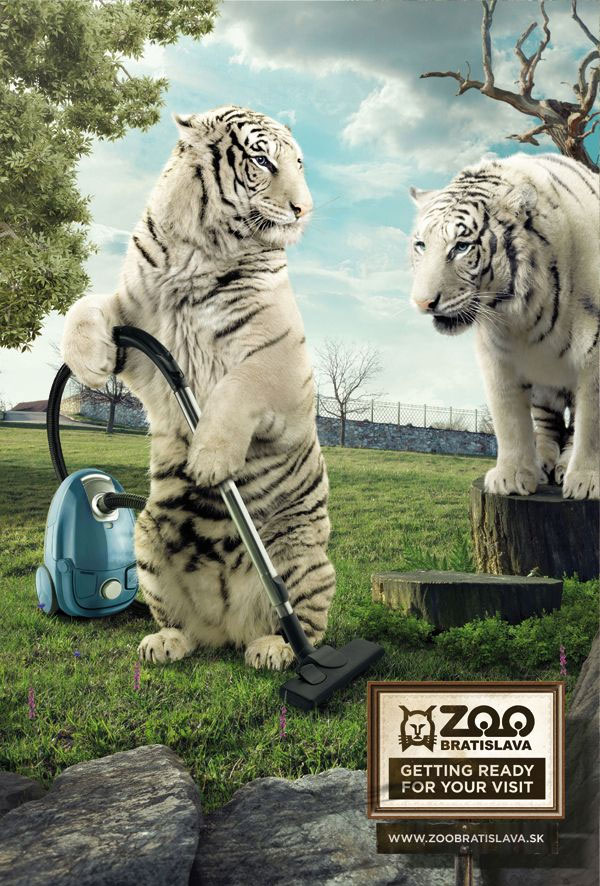 white tigers vacuuming as the zoo