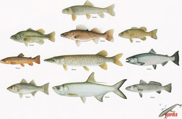 rapala print ad renaming fish
